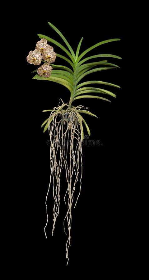 Vanda Orchid Plant arkivbilder
