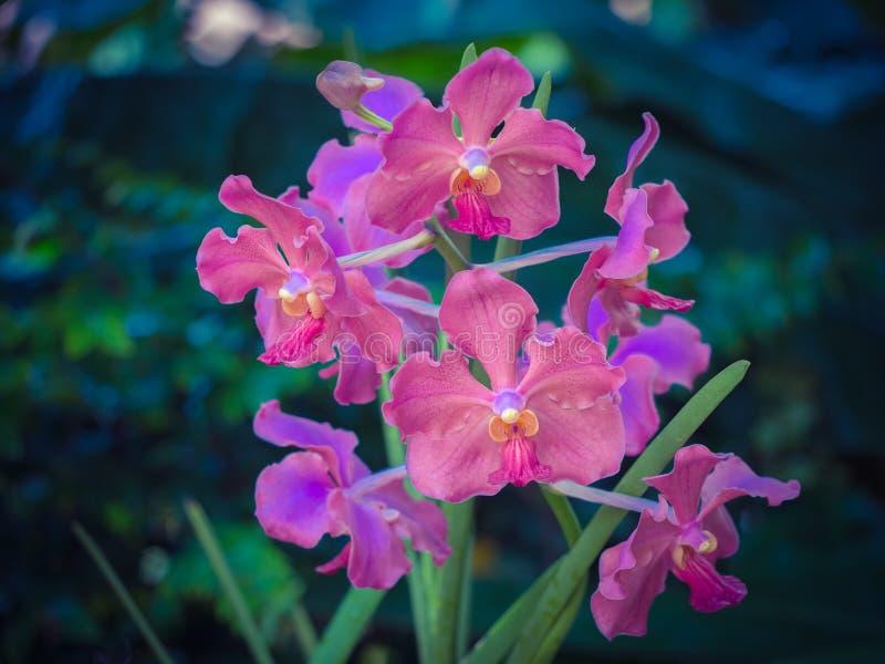 Vanda orchidea obrazy royalty free