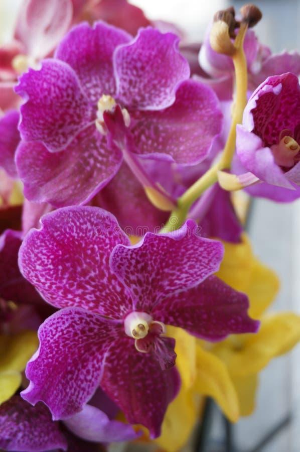 Vanda orchids. A photo of purple Vanda Miss Joaquim orchids flowers & x28; Orchidaceae & x29;, close up stock photo