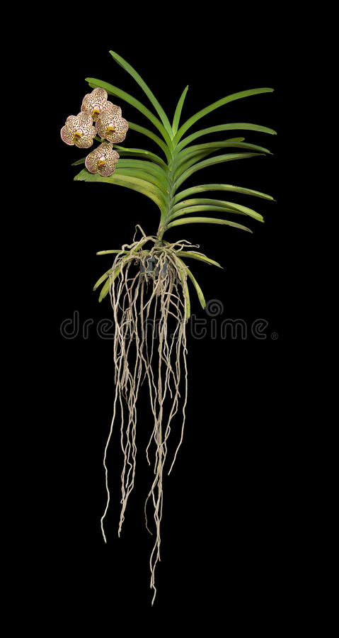 Vanda Storczykowa roślina obrazy stock