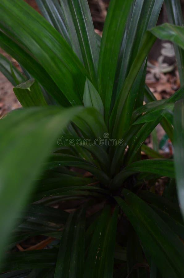 Vanda tricolor orkidéart av orkidéendemisken arkivfoto