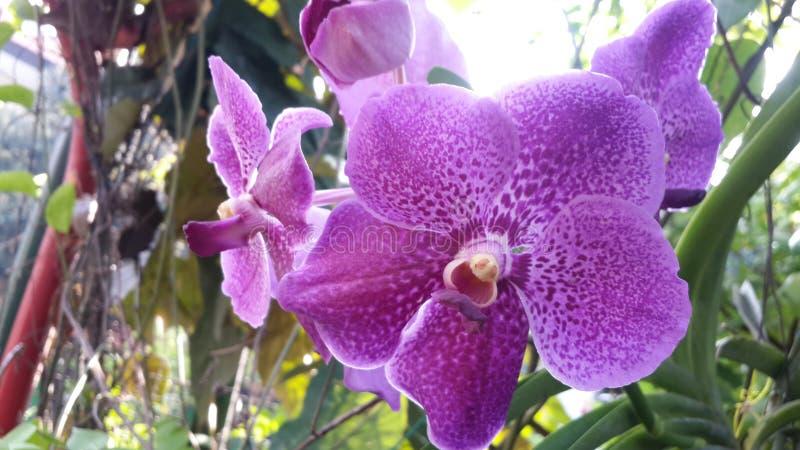 Vanda Vanda Robert Delight Blue Star photographie stock libre de droits