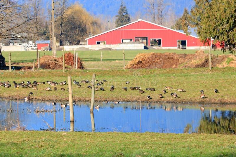 Vandra änder som vilar på dammet royaltyfri foto