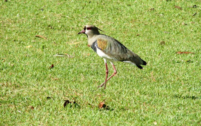 Vanellus chilensis ptak na zielonej trawie fotografia royalty free