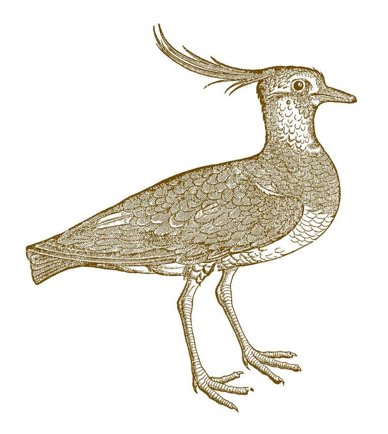 Vanellus do norte do galispo com uma crista engraçada ilustração do vetor