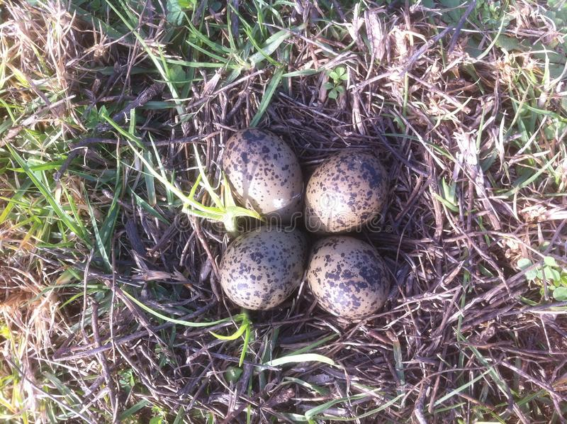 Vanellus nest with eggs royalty free stock images