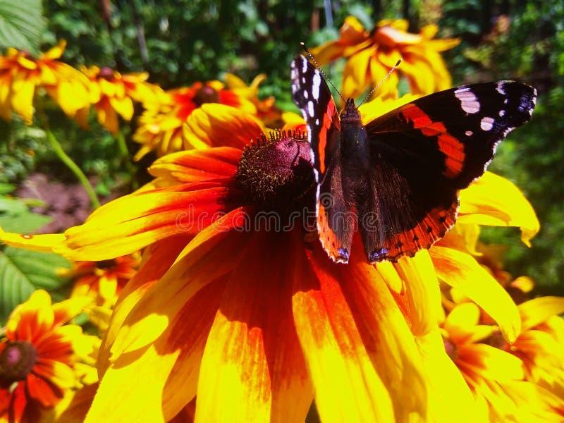 Vanessa在黄金菊花照片的atalanta蝴蝶 库存图片