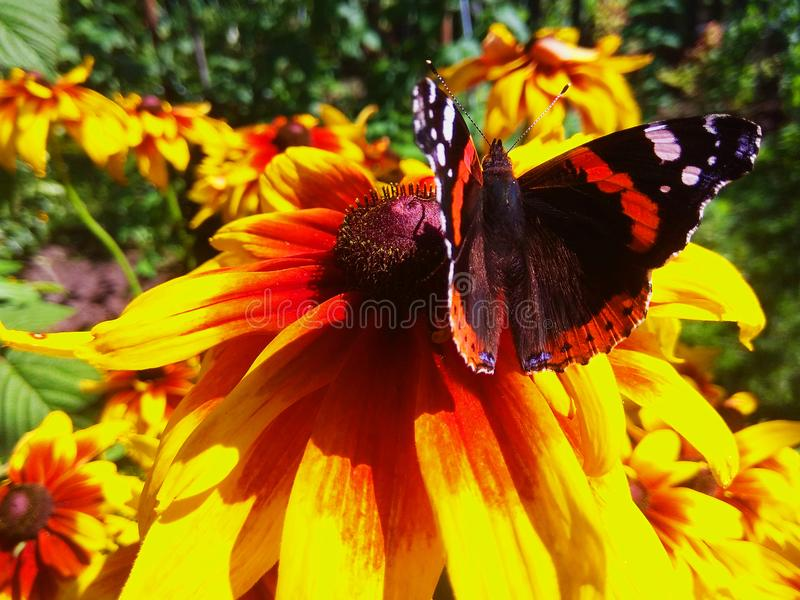 Vanessa atalanta butterfly on rudbeckia flower photo stock images