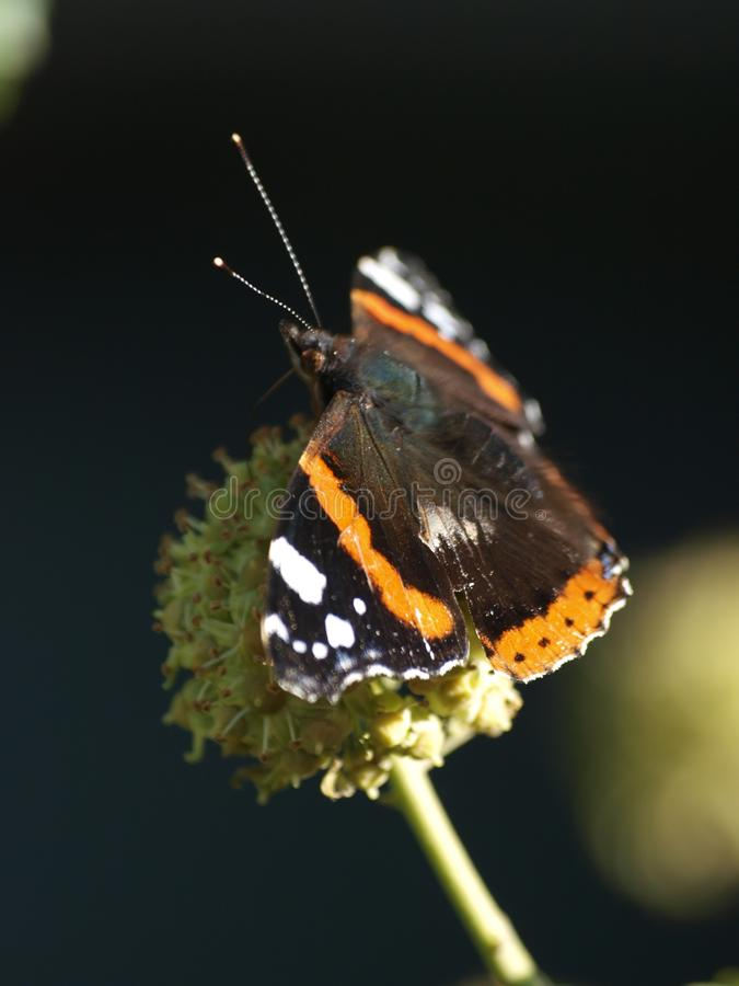 Vanessa atalanta, the red admiral butterfly in the sun sitting on a ball thistle. stock photography
