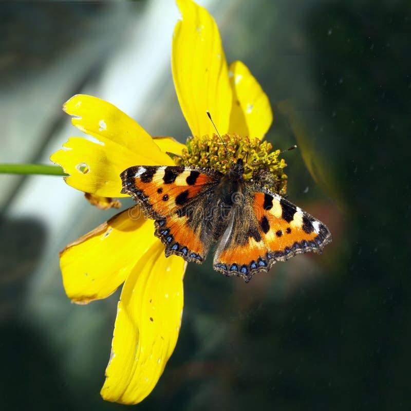 Vanessa atalanta, Schmetterling im Herbst auf gelber Blume lizenzfreie stockbilder