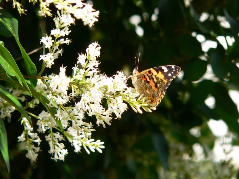 Vanessa buterfly royaltyfria bilder