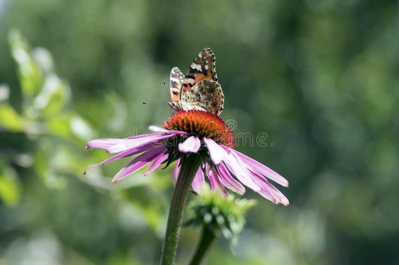 Vanessa cardui坐海胆亚目purpurea开花植物,在绽放的东部紫色coneflower 免版税库存图片
