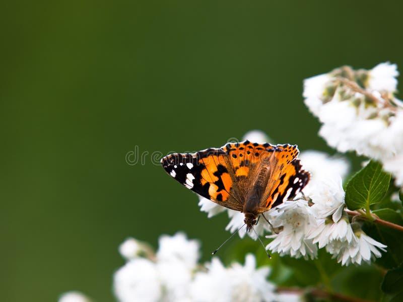 vanessa cardui бабочки стоковое изображение