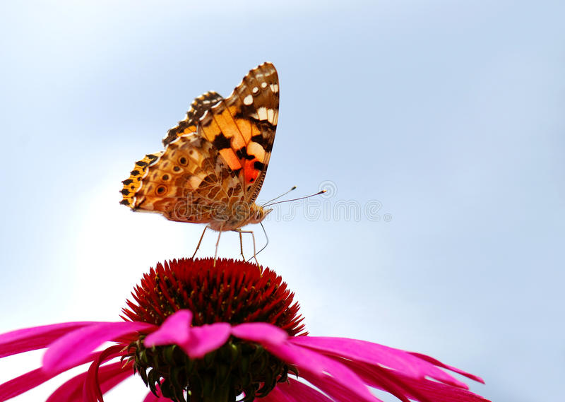 Download Vanessa Cardui Royalty Free Stock Image - Image: 17992206