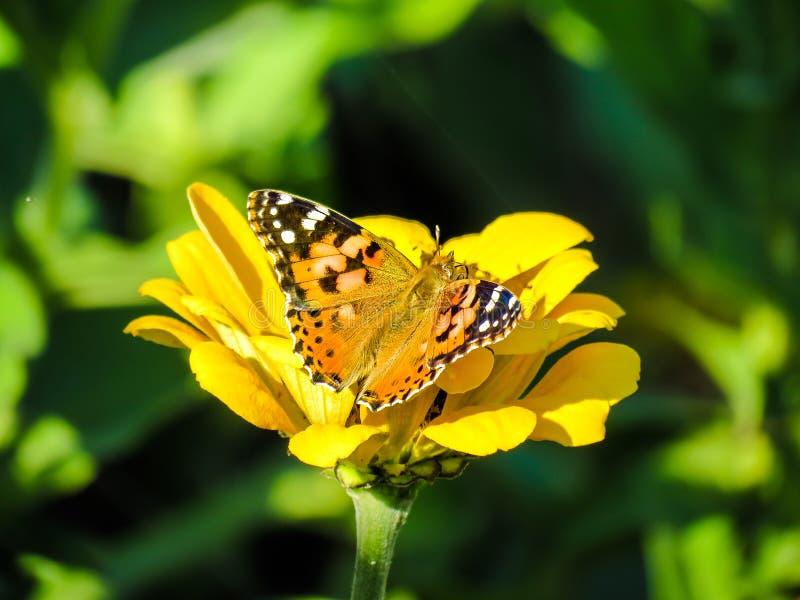 Vanessa-cardui auf einem gelben Zinnia lizenzfreies stockfoto