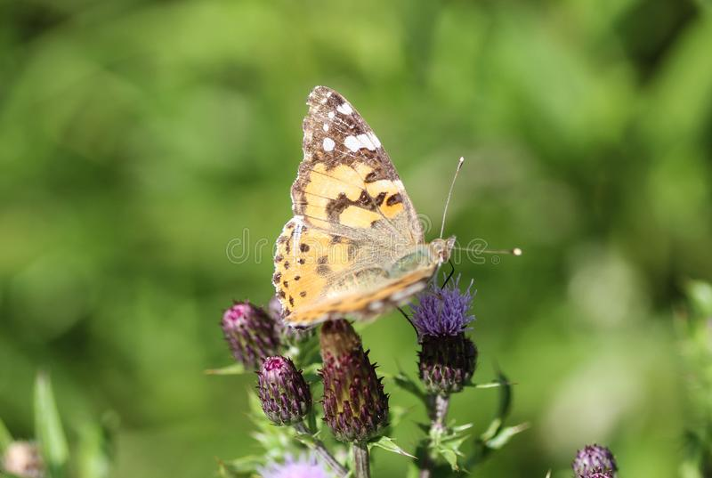 Vanessa cardui a colourful butterfly, known as the painted lady, or cosmopolitan, resting on a thistle flower royalty free stock photo