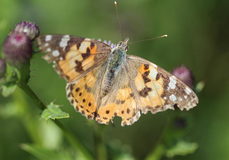 Vanessa cardui a colourful butterfly, known as the painted lady, or cosmopolitan, resting on a thistle flower stock photo