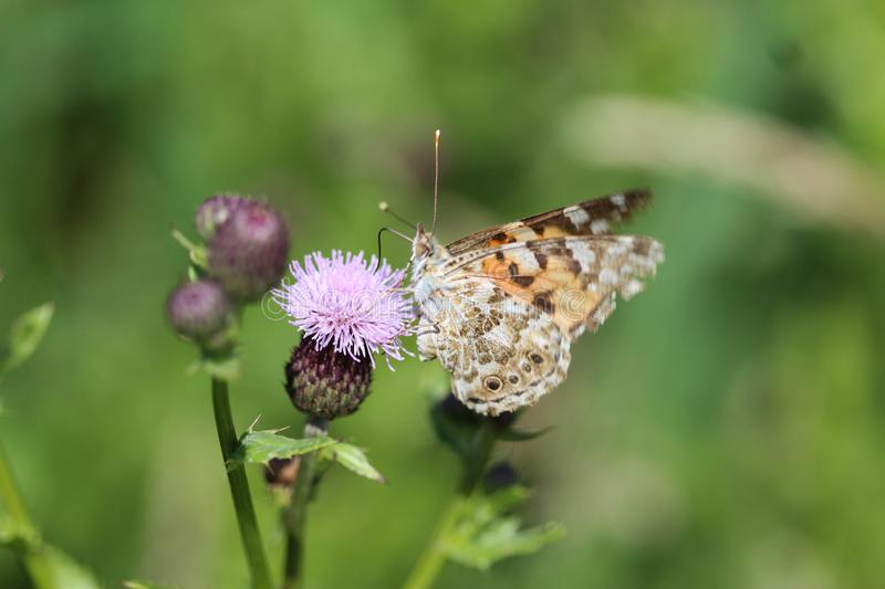 Vanessa cardui a colourful butterfly, known as the painted lady, or cosmopolitan, resting on a thistle flower stock photography