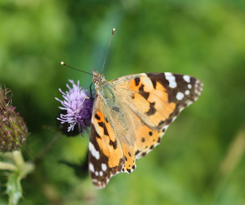 Vanessa cardui a colourful butterfly, known as the painted lady, or cosmopolitan, resting on a thistle flower royalty free stock image
