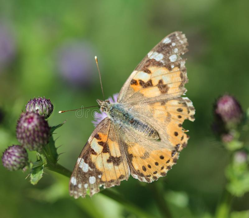 Vanessa cardui a colourful butterfly, known as the painted lady, or cosmopolitan, resting on a thistle flower royalty free stock photos
