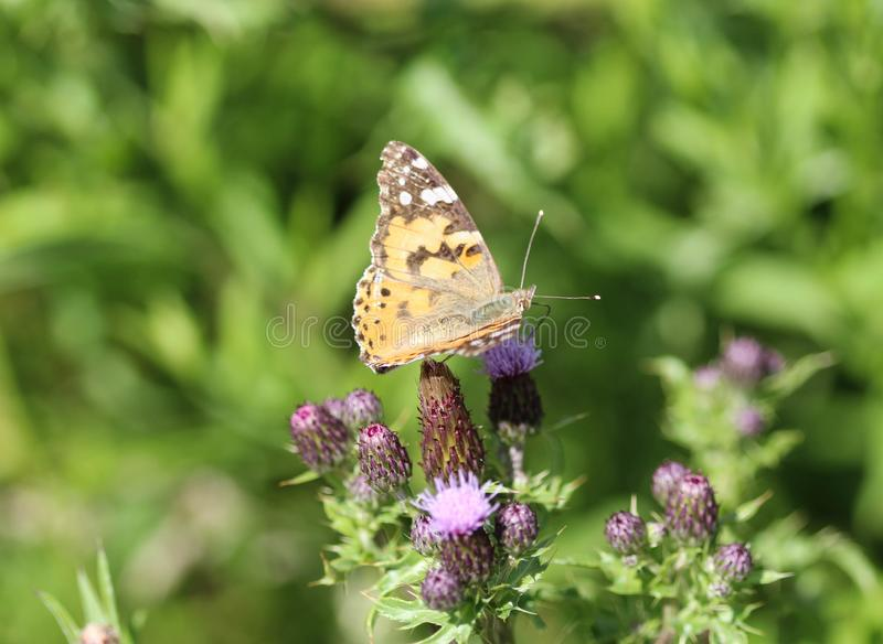 Vanessa cardui a colourful butterfly, known as the painted lady, or cosmopolitan, resting on a thistle flower stock images