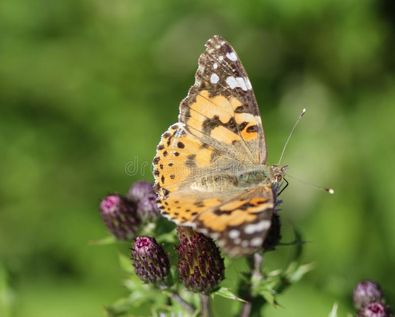Vanessa cardui a colourful butterfly, known as the painted lady, or cosmopolitan, resting on a thistle flower stock photos