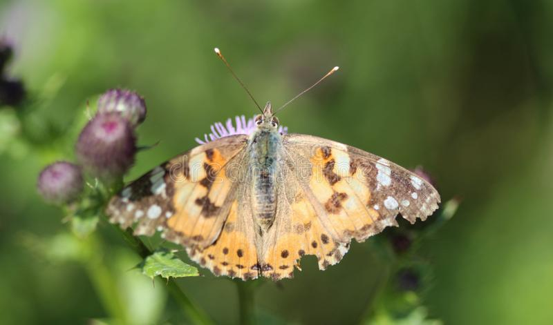 Vanessa cardui a colourful butterfly, known as the painted lady, or cosmopolitan, resting on a thistle flower royalty free stock images