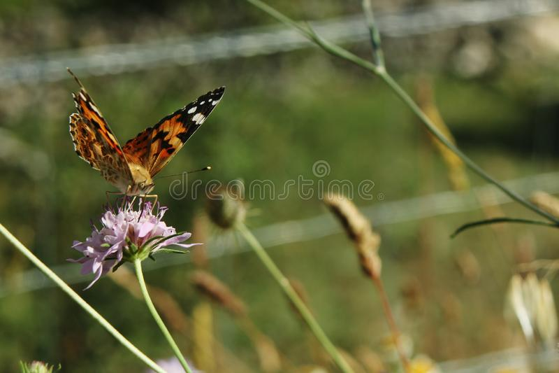 Vanessa cardui, Malująca dama lub motyl pije nektar od purpurowego kwiatu, pomarańczowy i czarny obrazy stock