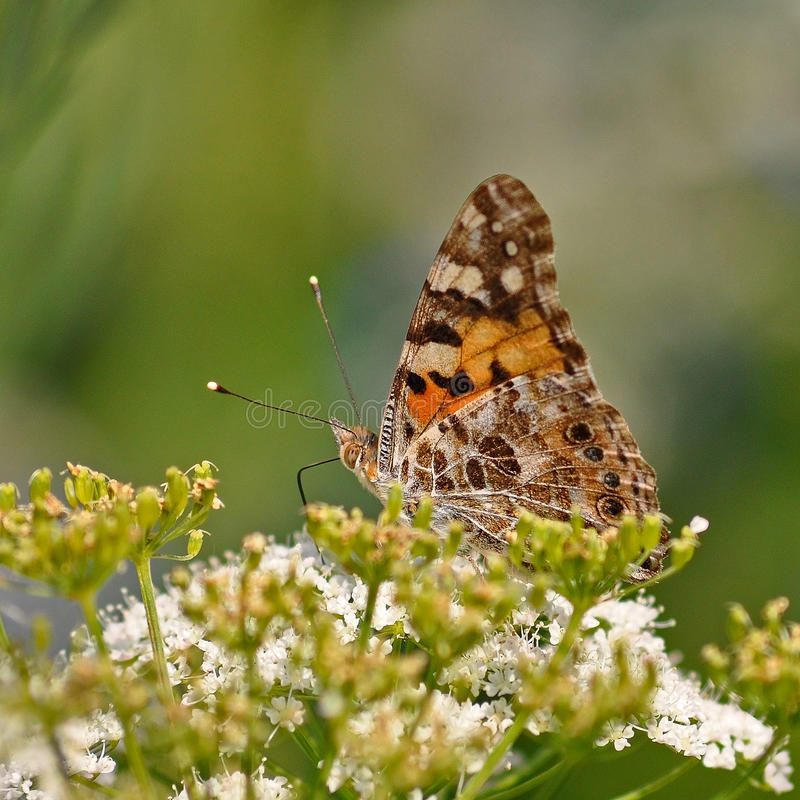 Vanessa cardui, Painted lady butterfly stock photography