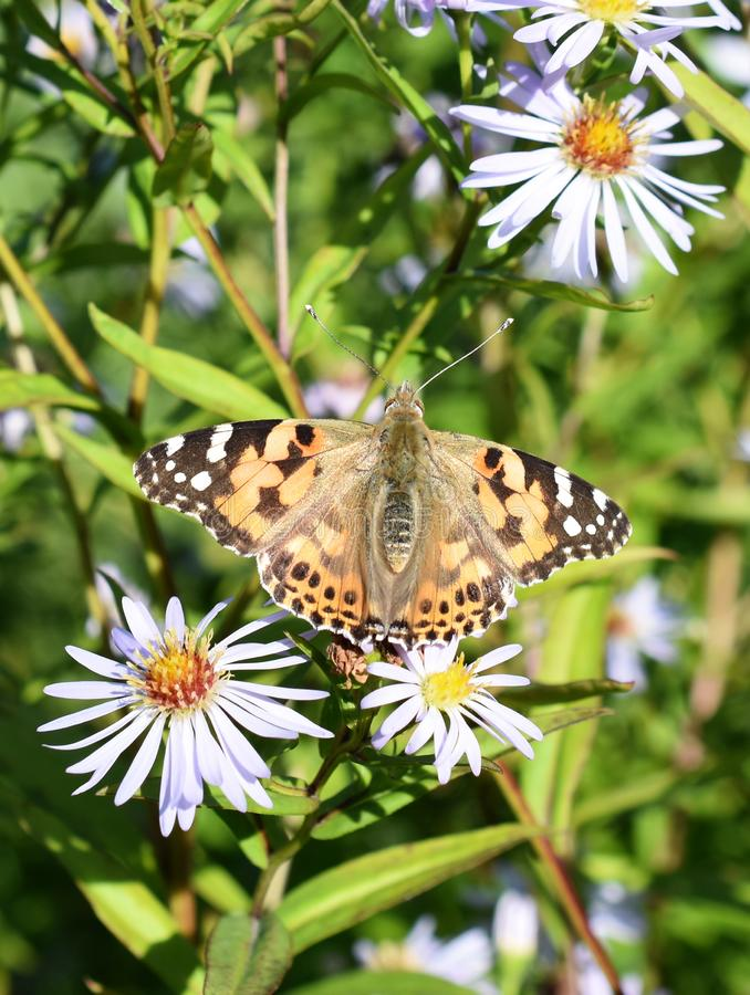 Vanessa cardui Painted lady butterfly stock photos