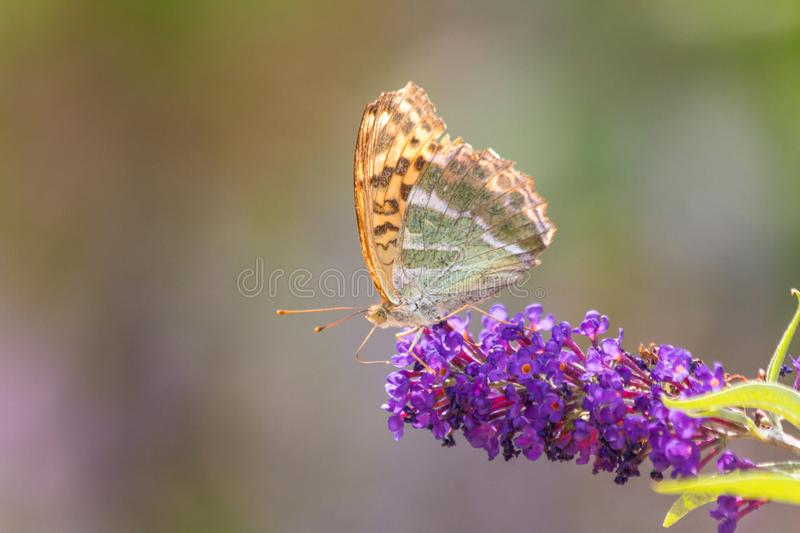 Vanessa cardui, the painted lady colorful butterfly on flower royalty free stock photos
