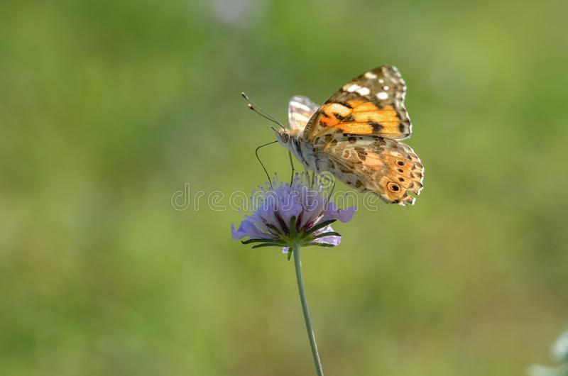 Vanesse Cardui is on a flower. royalty free stock photos