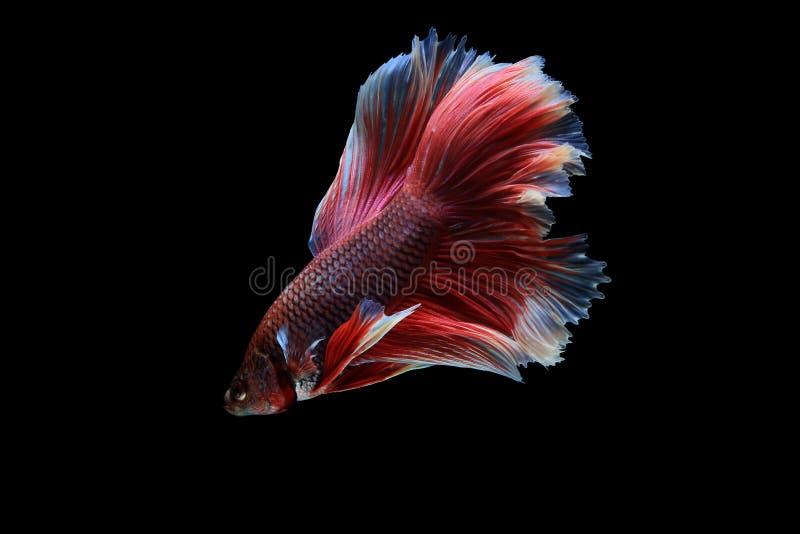 Vang het bewegende die ogenblik van siamese het vechten vissen op B wordt geïsoleerd royalty-vrije stock foto