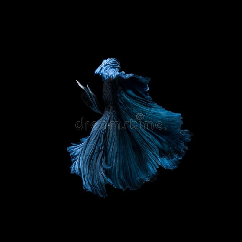 Vang het bewegende ogenblik van blauwe siamese het vechten vissen stock afbeelding