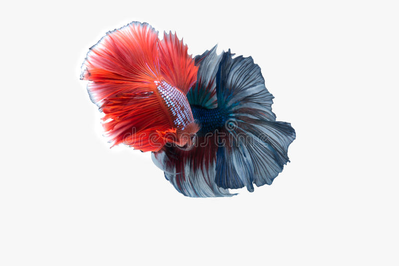 Vang het bewegende ogenblik van dubbele kleurrijke die Betta-vissen, Siamese het vechten vissen op witte achtergrond worden geïso stock fotografie
