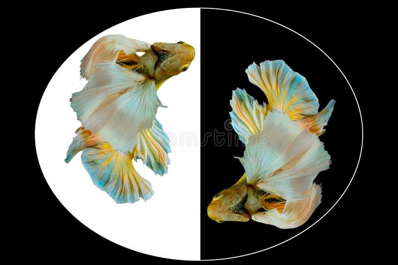 Vang het bewegende ogenblik van gele die bettavissen, Siamese het vechten vissen op zwart-witte achtergrond worden geïsoleerd stock afbeelding