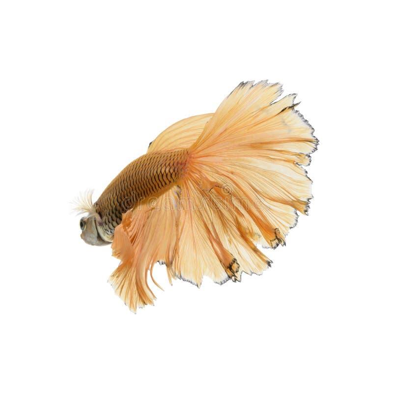 Vang het bewegende ogenblik van gele siamese het vechten vissen stock foto