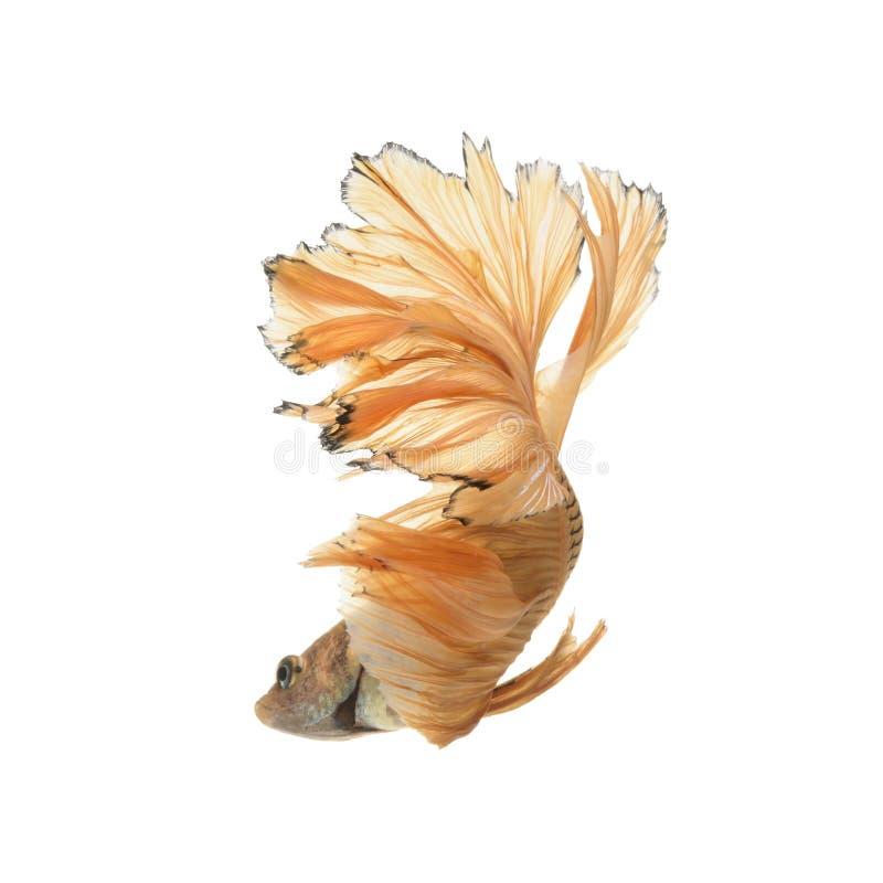 Vang het bewegende ogenblik van gele siamese het vechten vissen royalty-vrije stock afbeelding