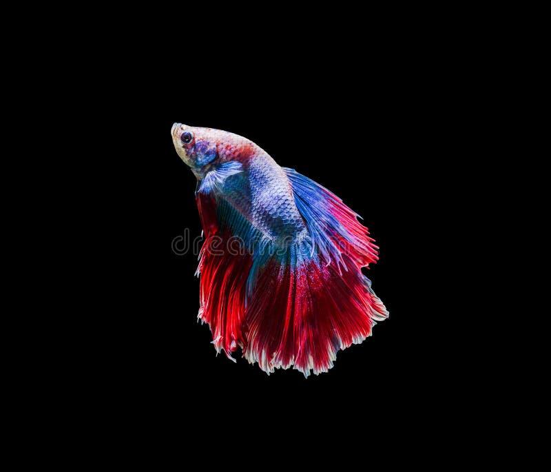 Vang het bewegende ogenblik van siamese het vechten vissen stock foto's