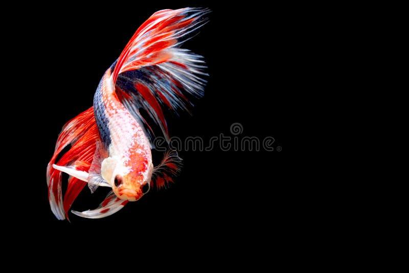 Vang het bewegende ogenblik van siamese het vechten vissen royalty-vrije stock foto's