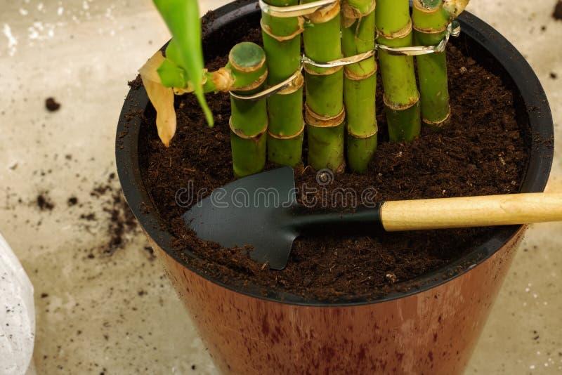 Vanga in un vaso con suolo e la pianta fotografia stock libera da diritti