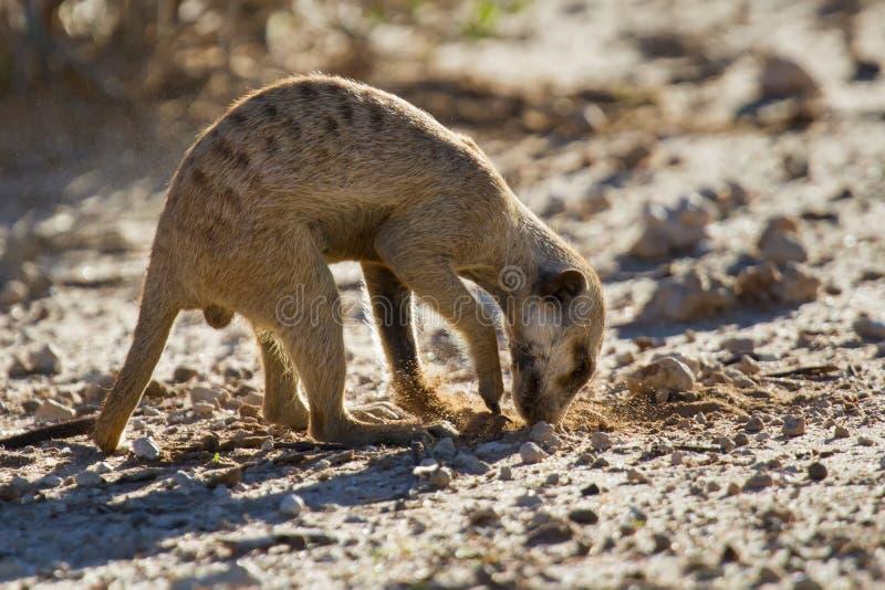 Vangata di Suricate per alimento in sabbia del deserto immagini stock