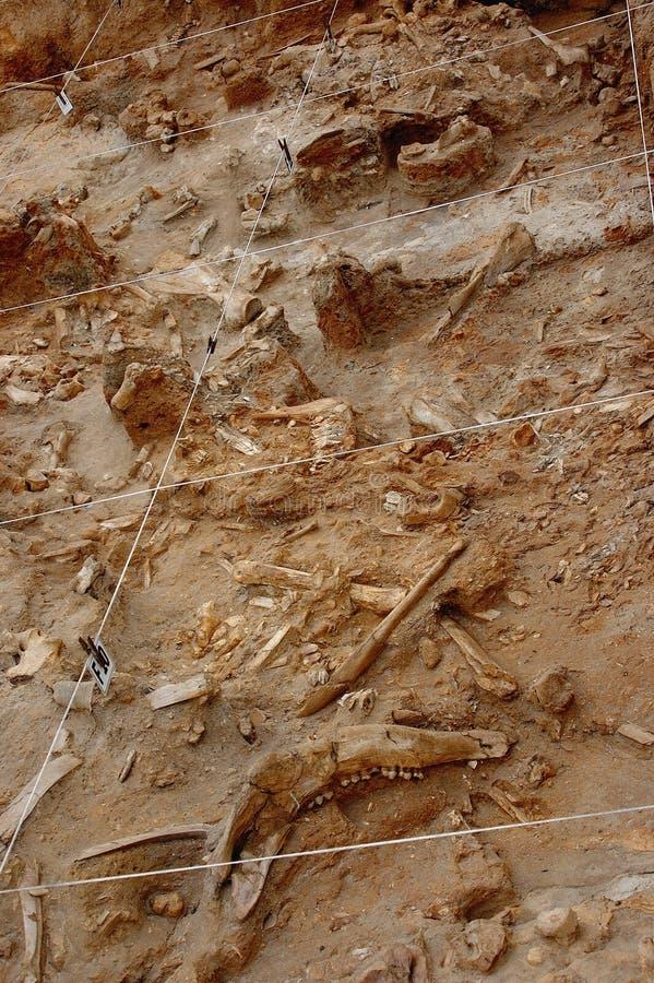 Vangata fossile dell'osso fotografie stock