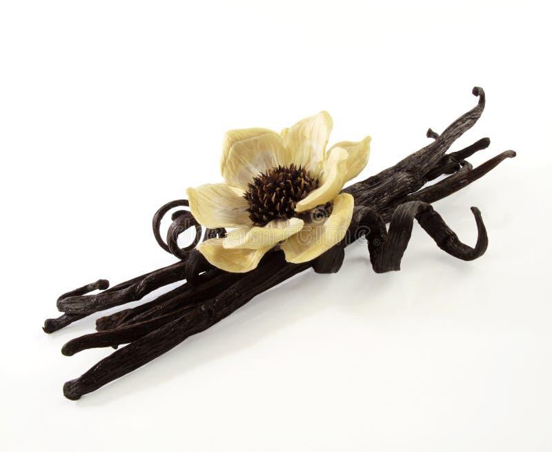 Vaniljbönor med blomman arkivbild