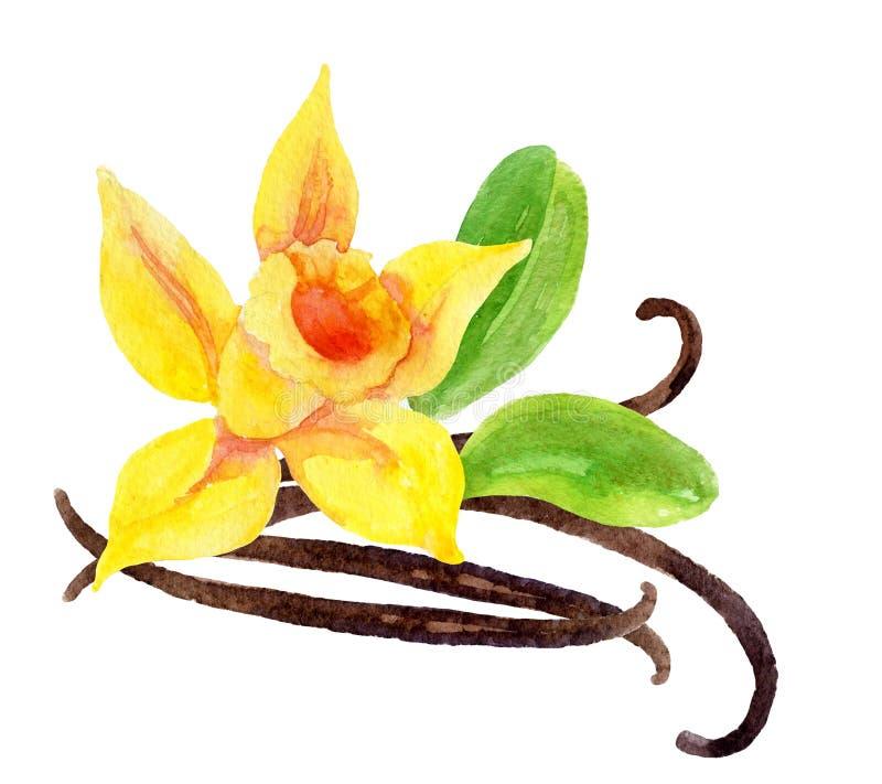 Vaniljblomma och fröskidor stock illustrationer