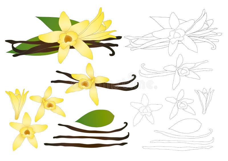 VaniljPlanifolia blomma och vaniljfröskida- eller bönaöversikt Glassanstrykning också vektor för coreldrawillustration bakgrund i royaltyfri illustrationer