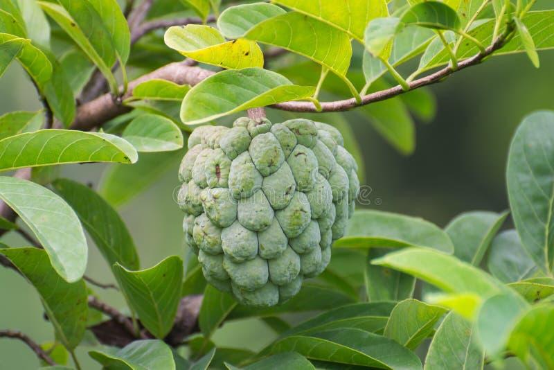 Vaniljsåsäpple eller sockeräpple royaltyfria foton