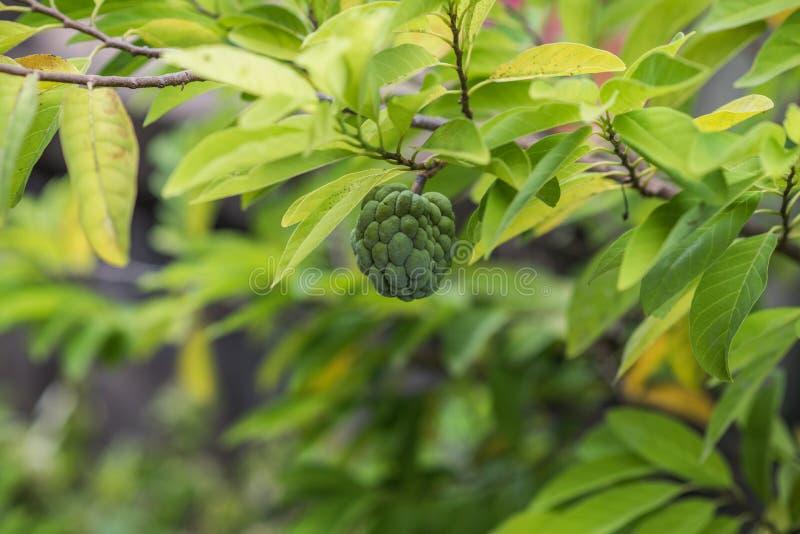 Vaniljsås Apple som växer på ett träd royaltyfria bilder
