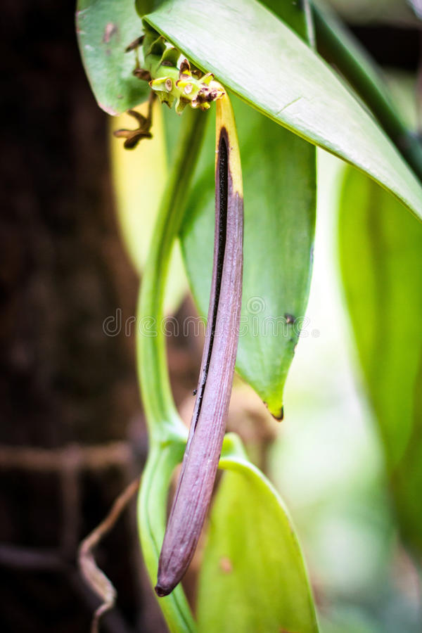 Vaniljväxt och fröskidor med naturbakgrund i kolonin på Sri Lanka royaltyfri foto