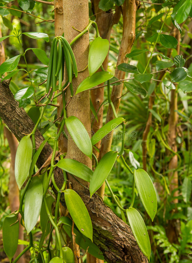 Vaniljväxt och gräsplanfröskida royaltyfri fotografi